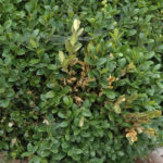 Zweigsterben-Volutella