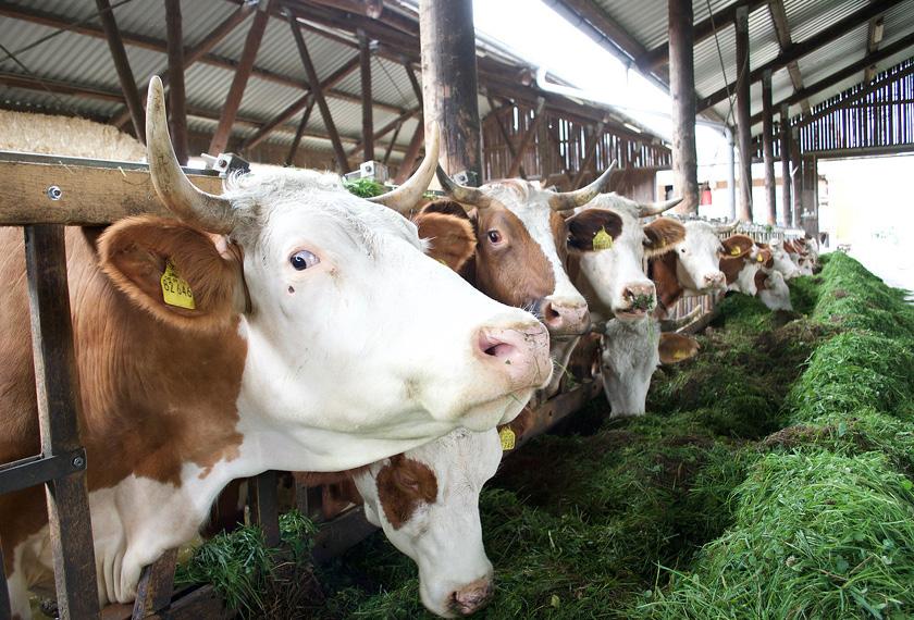 Fütterungsoptimierung bei Nutztieren mit effektiven Mikroorganismen