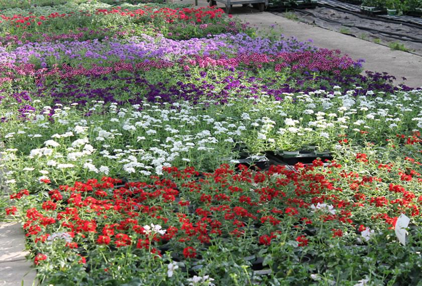 Gärtnerei-Attl-Blick-ins-Gewächshaus-ohne Stauchungsmittel