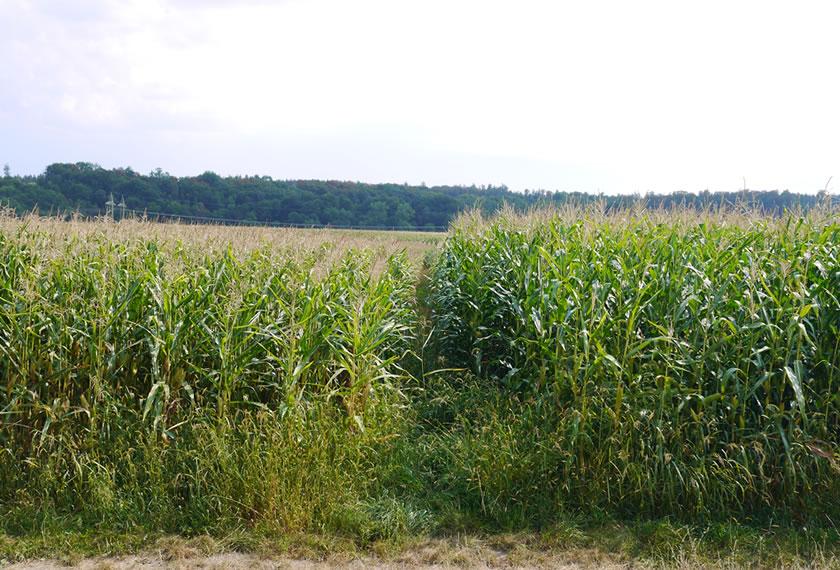 Maisanbau im Trockenjahr 2018