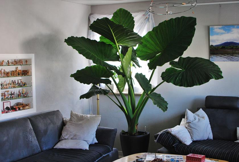 Zimmerpflanze-Adam