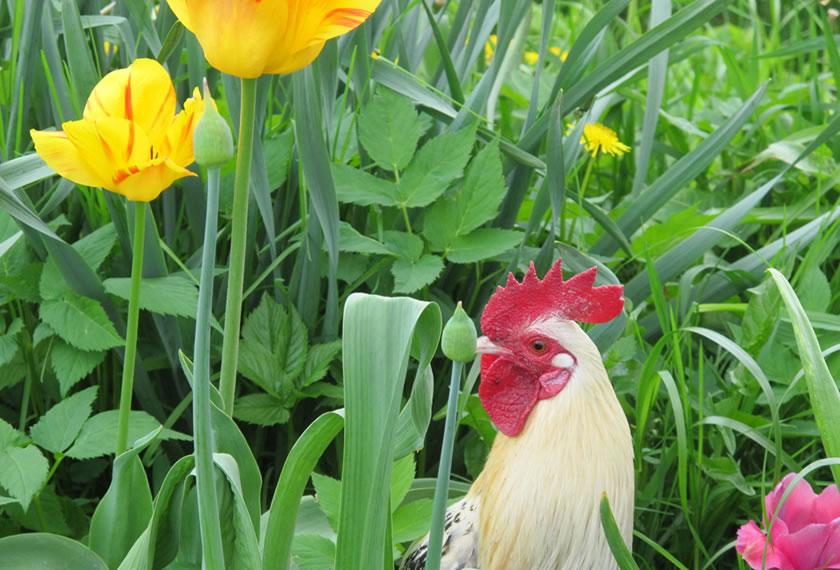 Auch der Gockel liebt die Tulpen