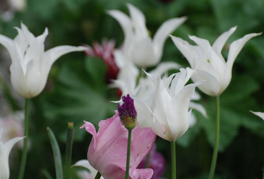 Farbenfrohes Tulpenspiel mit rötlich-lila Tönen