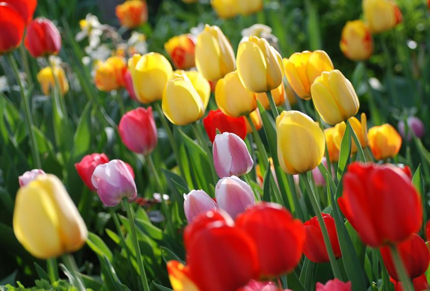Tulpen von gelb über orange bis rot und lila