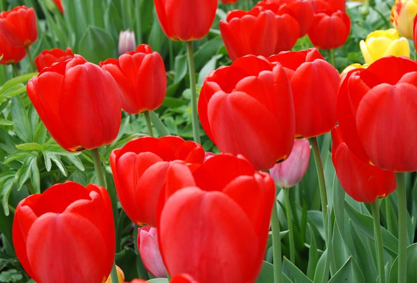 Rote Apeldoorn Tulpe
