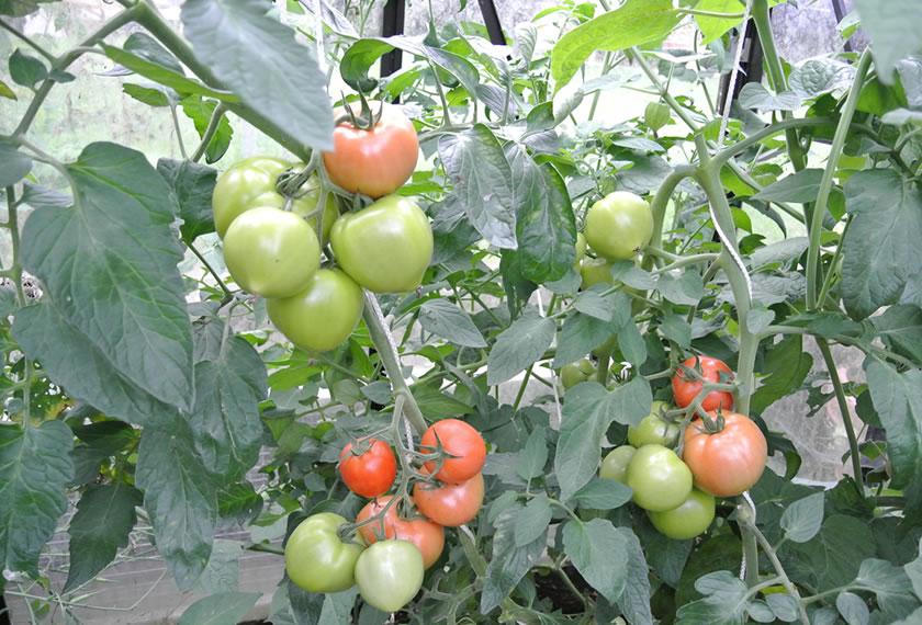 Tomaten anbauen mit EM