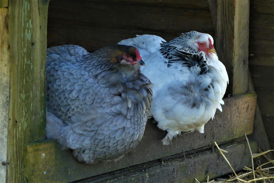 Glückliche Hühner im Hühnerstall
