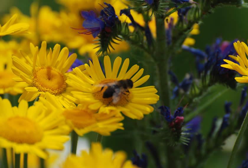 Bienen und Artenvielfalt