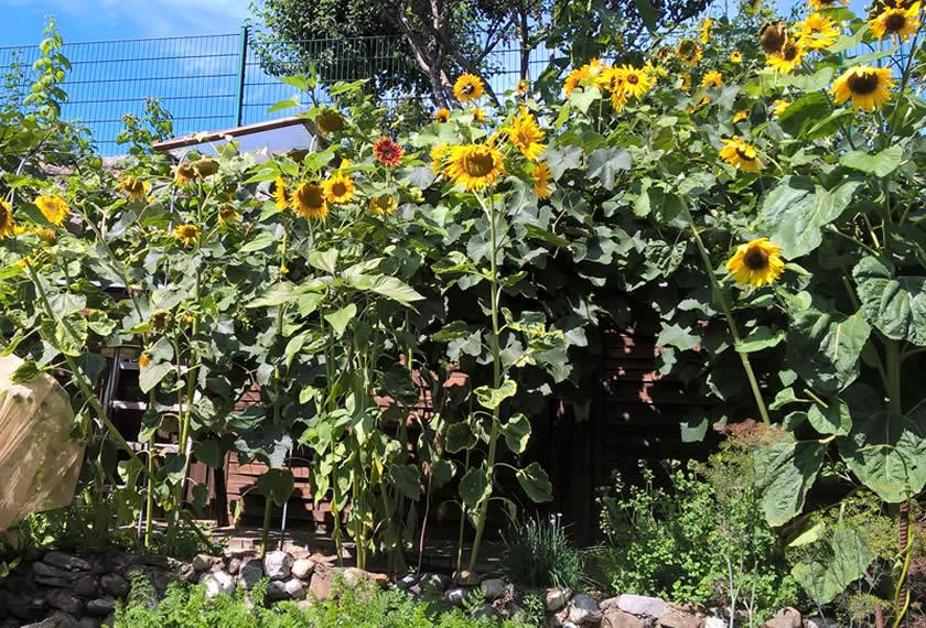 Sonnenblumenwunder-Wolfgang-Rohter-Bokashi-EM-Chiemgau