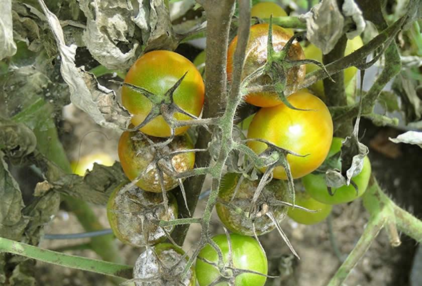 Ausgebreitete Braunfäule an Tomaten